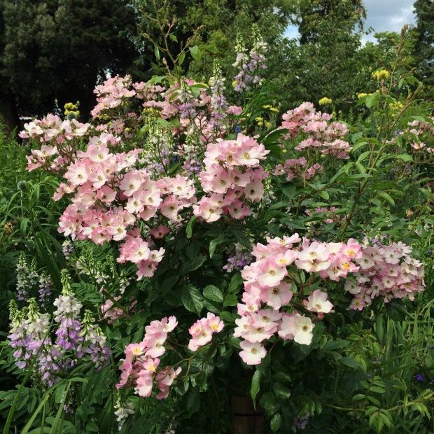 Ballerina rose with companion plants