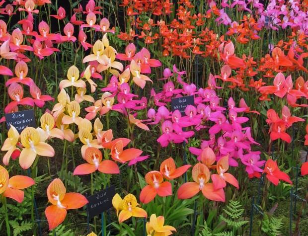 Disa cultivars