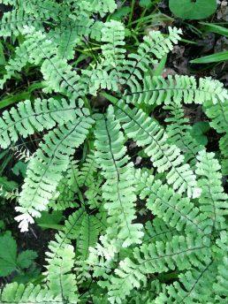 Maidenhead fern