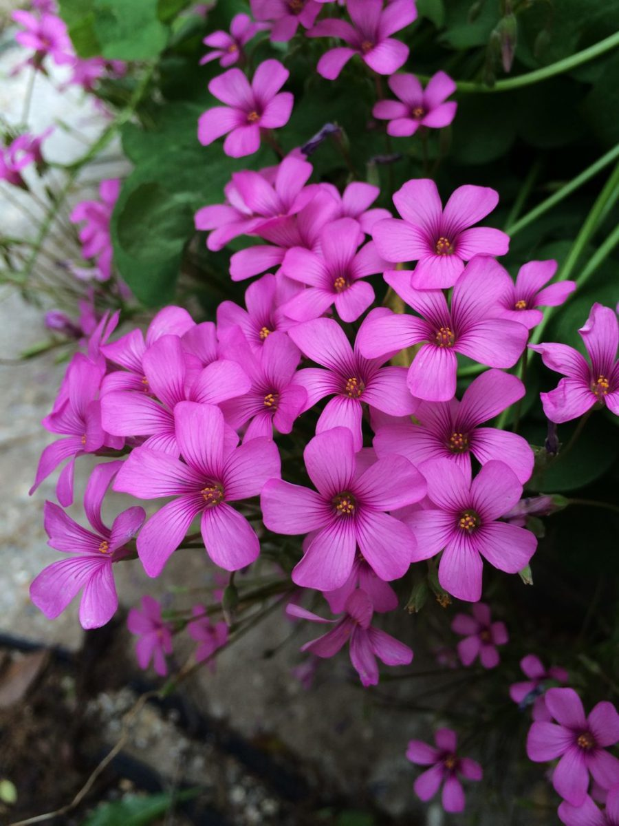 Oxalis crassipes rosea