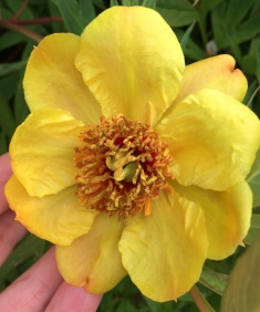 Single Yellow Peony