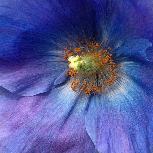 Blue poppy close up