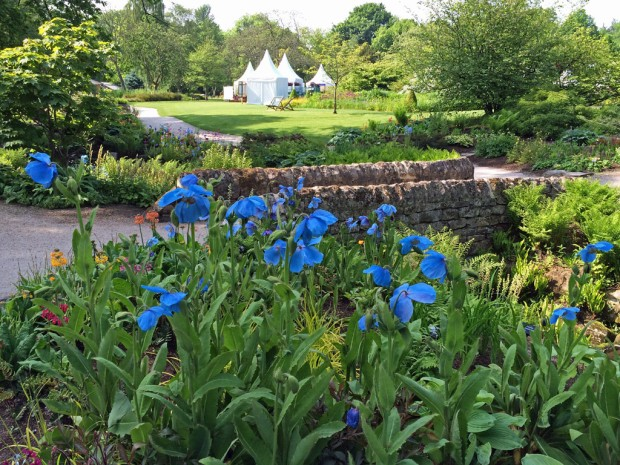 Blue Poppies at the Harlow Carr Flower Show