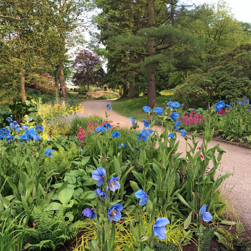 Blue poppies along a path
