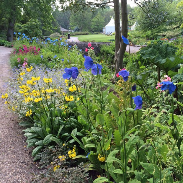 Blue Poppies and Companion Plants