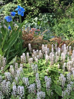 Blue Poppies and Tiarella 'Spring Symphony'