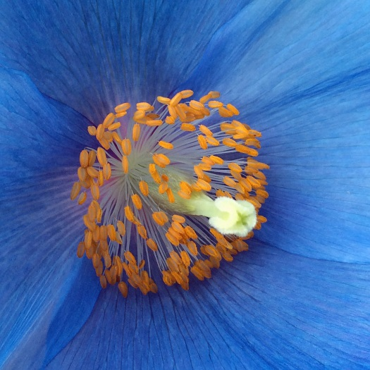Blue Poppy Stamens and Style