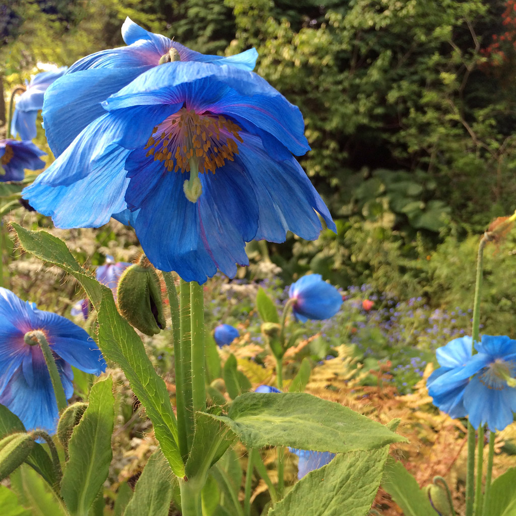 Himalayan Blue Poppies Susan Rushton