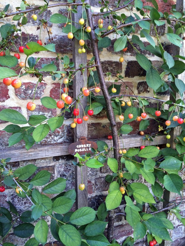 Cherry 'Morello' growing on trellis against a wall