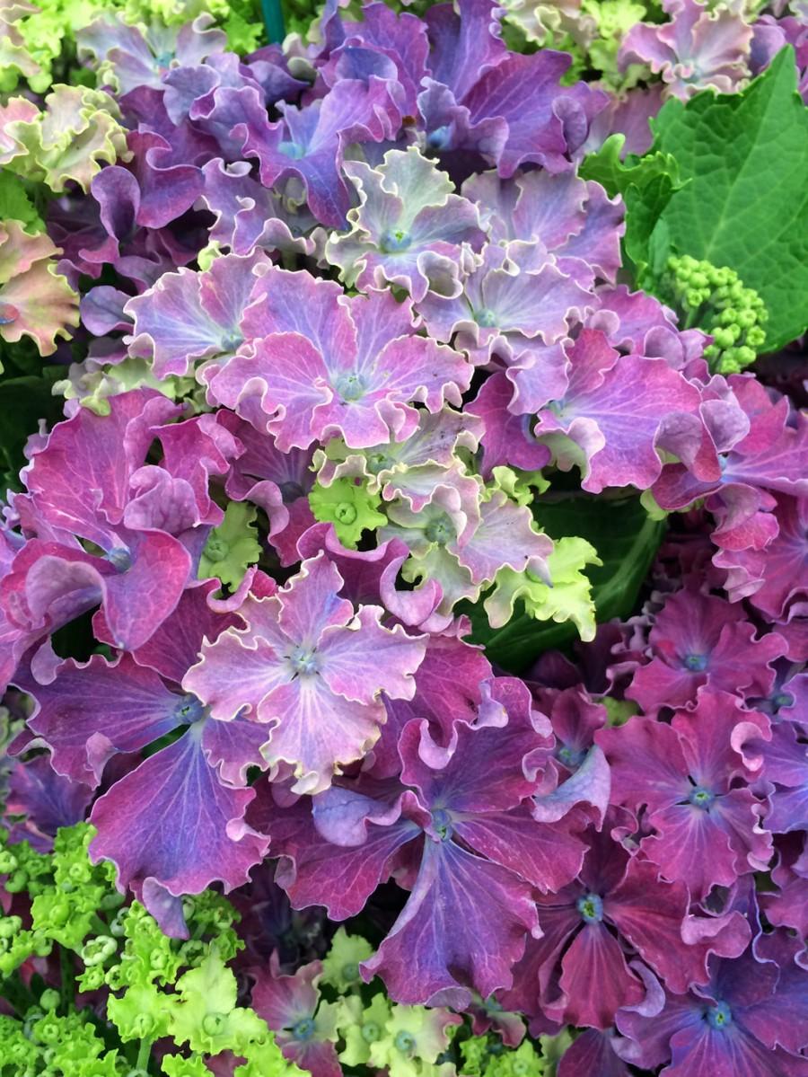 Hydrangea 'Curly Sparkle Blue'