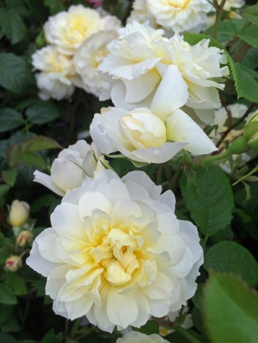 Rosa 'Imogen'