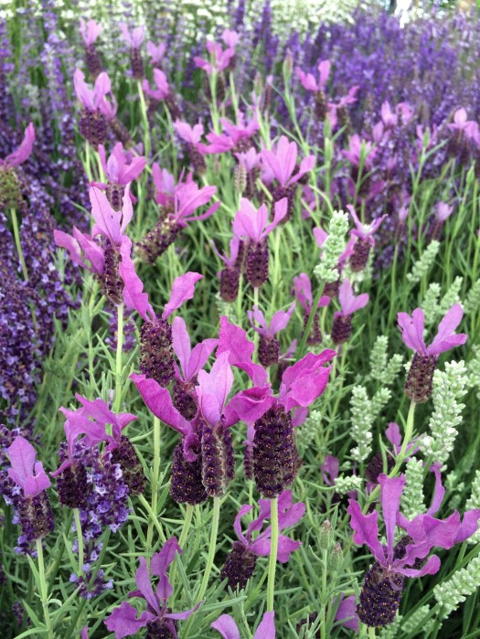 Lavender 'Willow Vale'