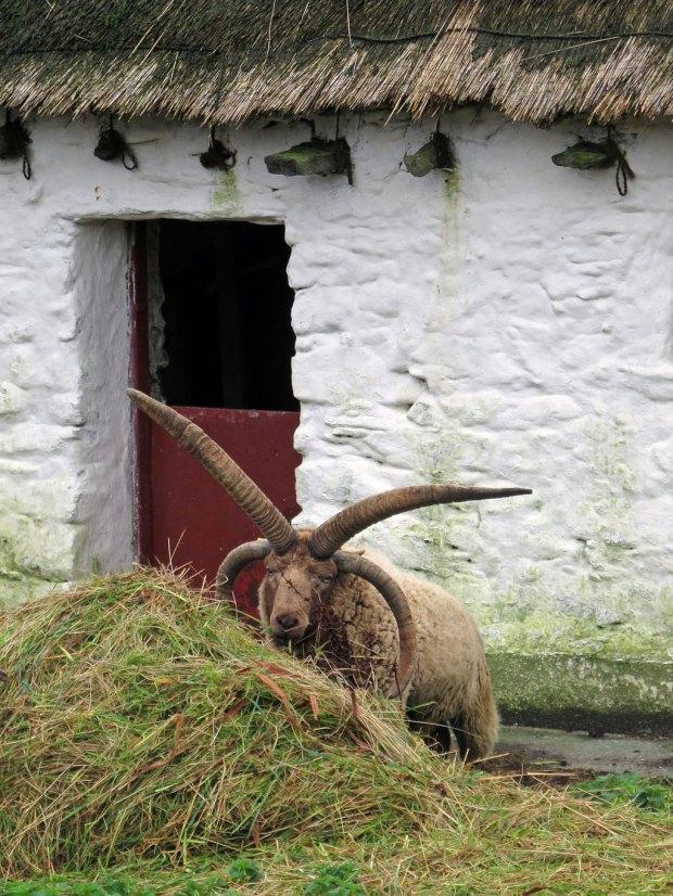 Manx Loaghtan ram with four horns