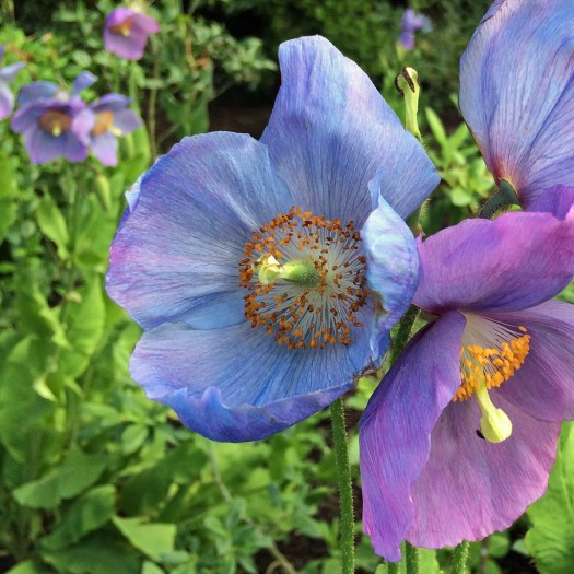 Meconopsis in variable colours