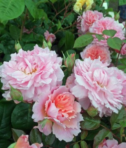 Rosa 'Strawberry Hill'