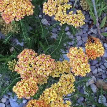 Achillea with pebble mulch