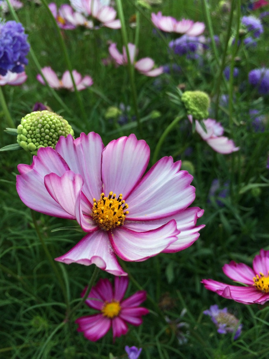 Cosmos 'Sensation Picotee' with scabious in a cutting garden