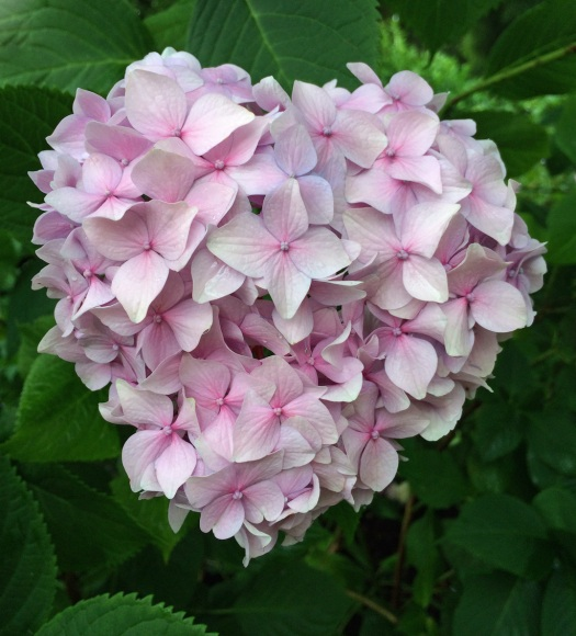 Heart shaped hydrangea
