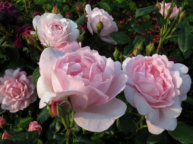 Scepter'd Isle roses