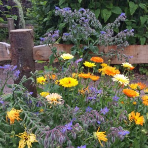 Fence post with calendula and borage