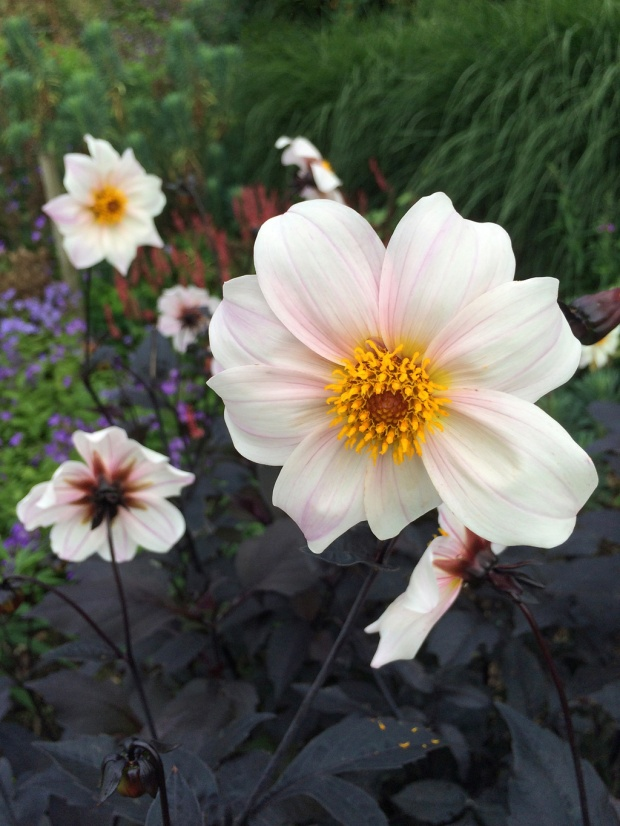 Dahlia 'Twyning's After Eight'
