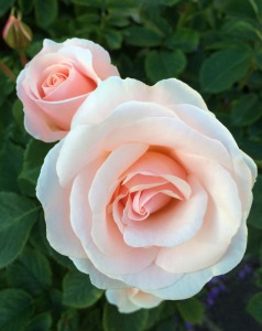 Floribunda rose   Pretty Lady