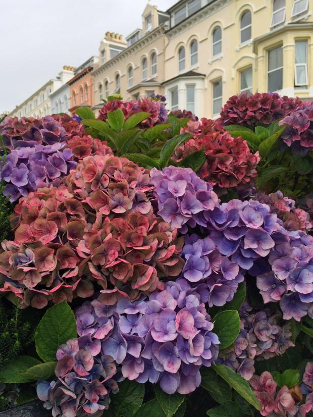 Hydrangeas on the Isle of Man
