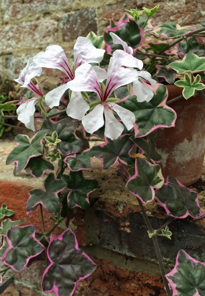 Ivy leaved pelargonium