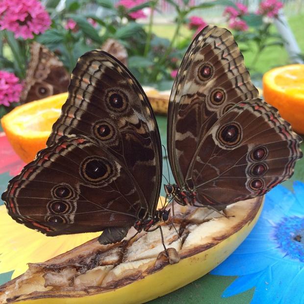 Butterflies feasting on a banana