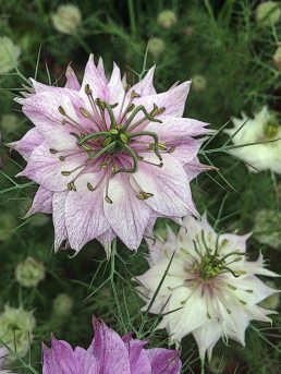 Nigella with poster edges filter