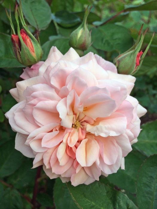 Peachy-pink rose