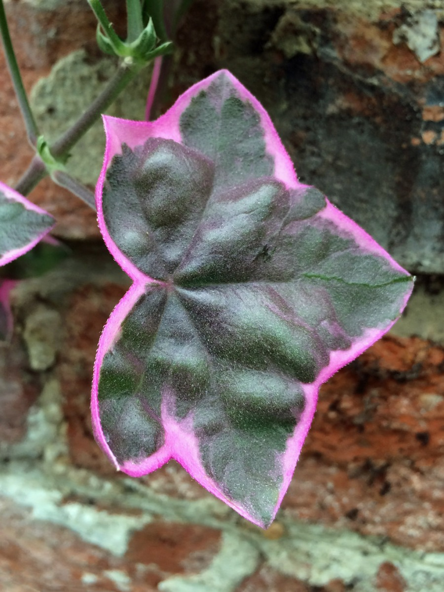 Pink edged leaf