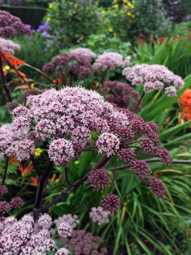 Purple Angelica