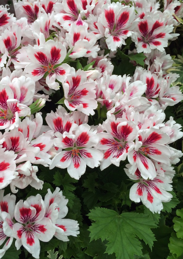 Regal pelargonium 'Arnside Fringed Aztec'