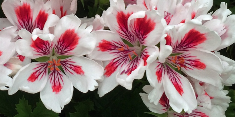 Regal pelargonium
