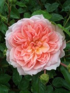 Rosa 'Anne Boleyn'