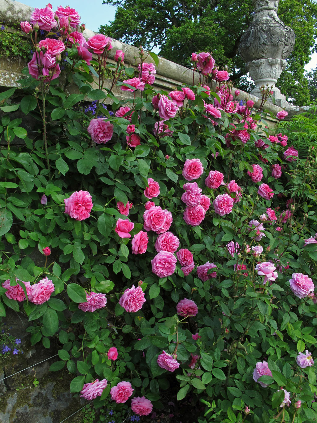 Roses In Garden: Bodnant Garden: One Of Britain's Best Rose Gardens