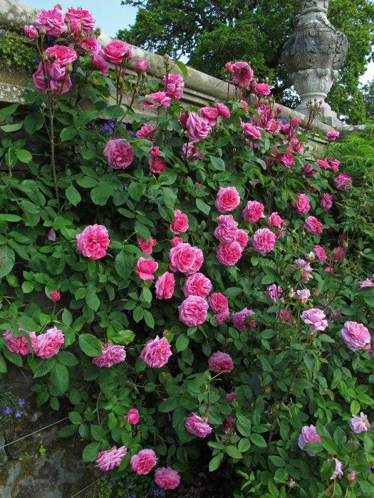 'Gertrude Jekyll' climbing rose