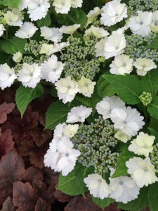 White hydrangea 'Koria' with heuchera
