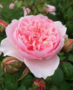 Pink English Rose with a cupped rosette shape