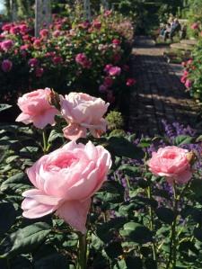 'Queen of Sweden' roses in a garden