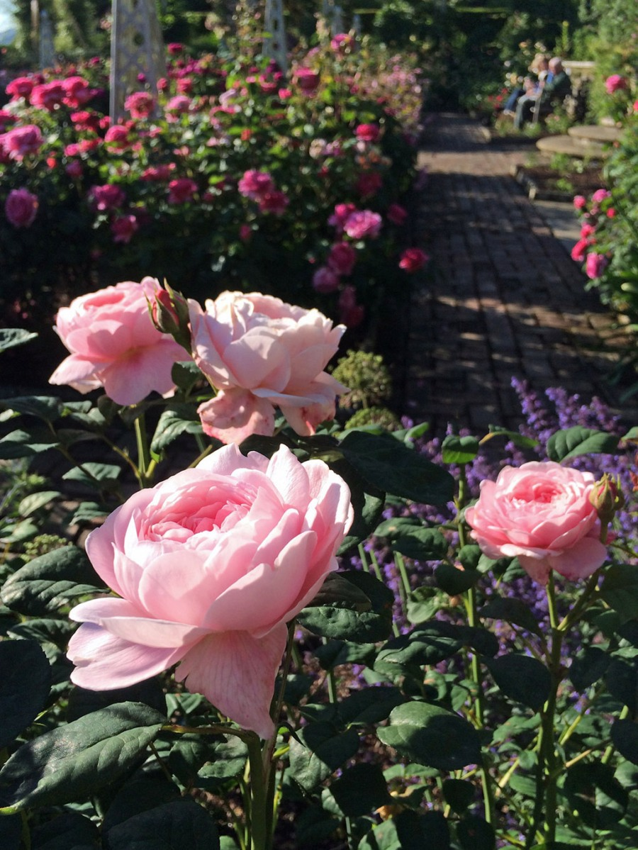 'Queen of Sweden' roses in a garden
