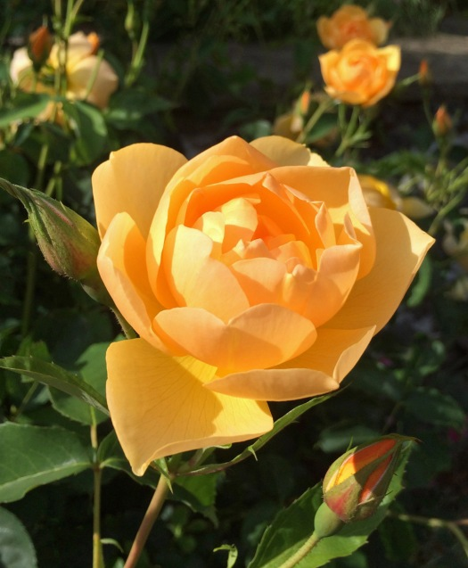 A bright yellow rose called Buttercup