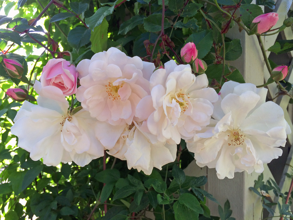 Cluster of Adelaide d'Orleans roses