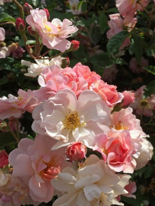 Peachy pink roses