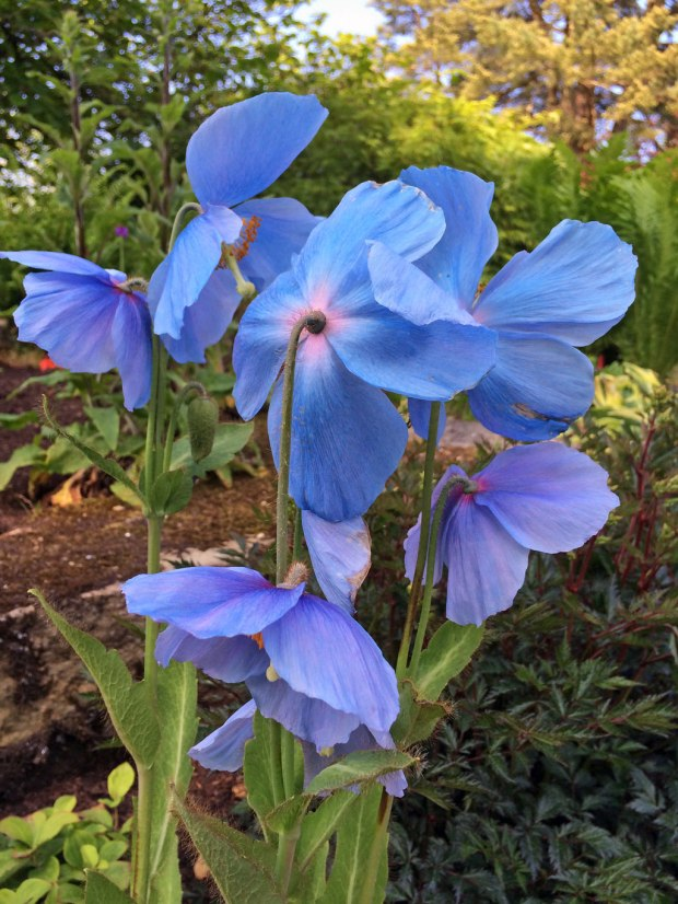 Blue poppies (meconopsis)