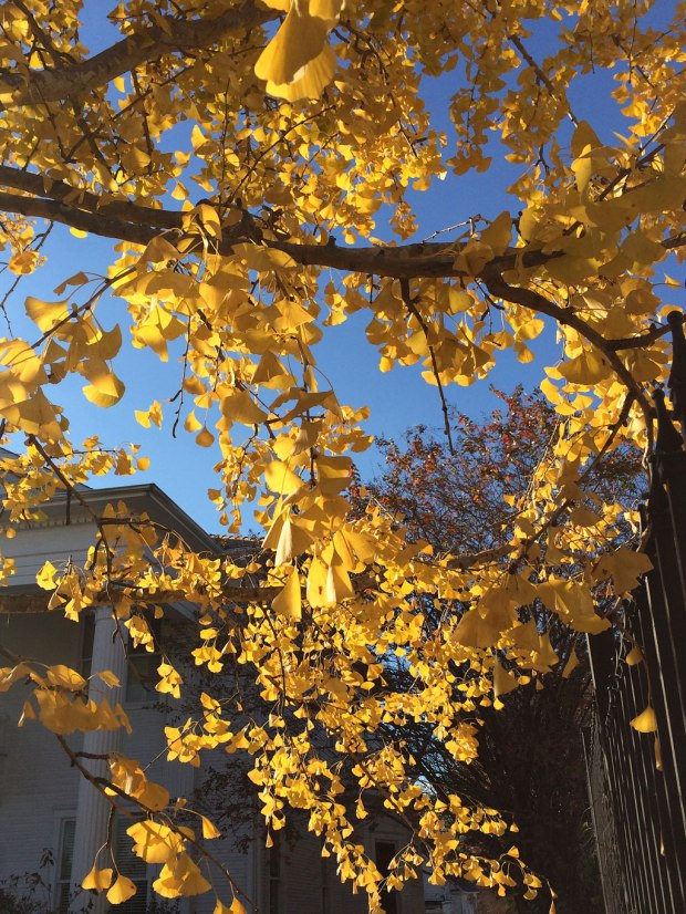Ginkgo leaves in autumn colours