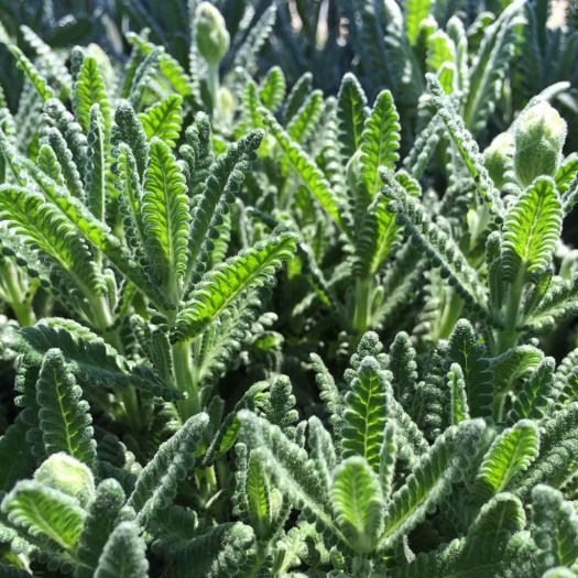 French lavender leaves