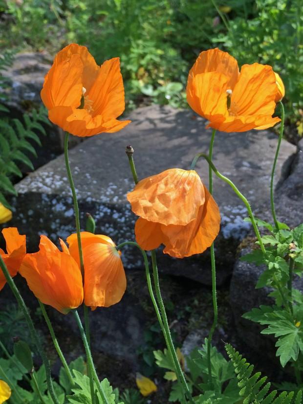 Meconopsis cambrica (orange poppies)