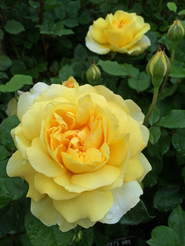 Rosa 'The Poet's Wife' (yellow rose)